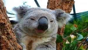 Angry_Koala