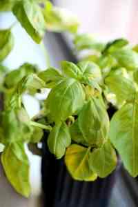 Withered Basil_Plant