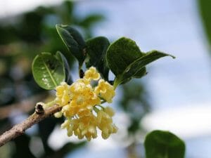 - The Amazing Benefits of Osmanthus Flowers